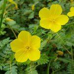 image of Tribulus Terrestris palnt and flower